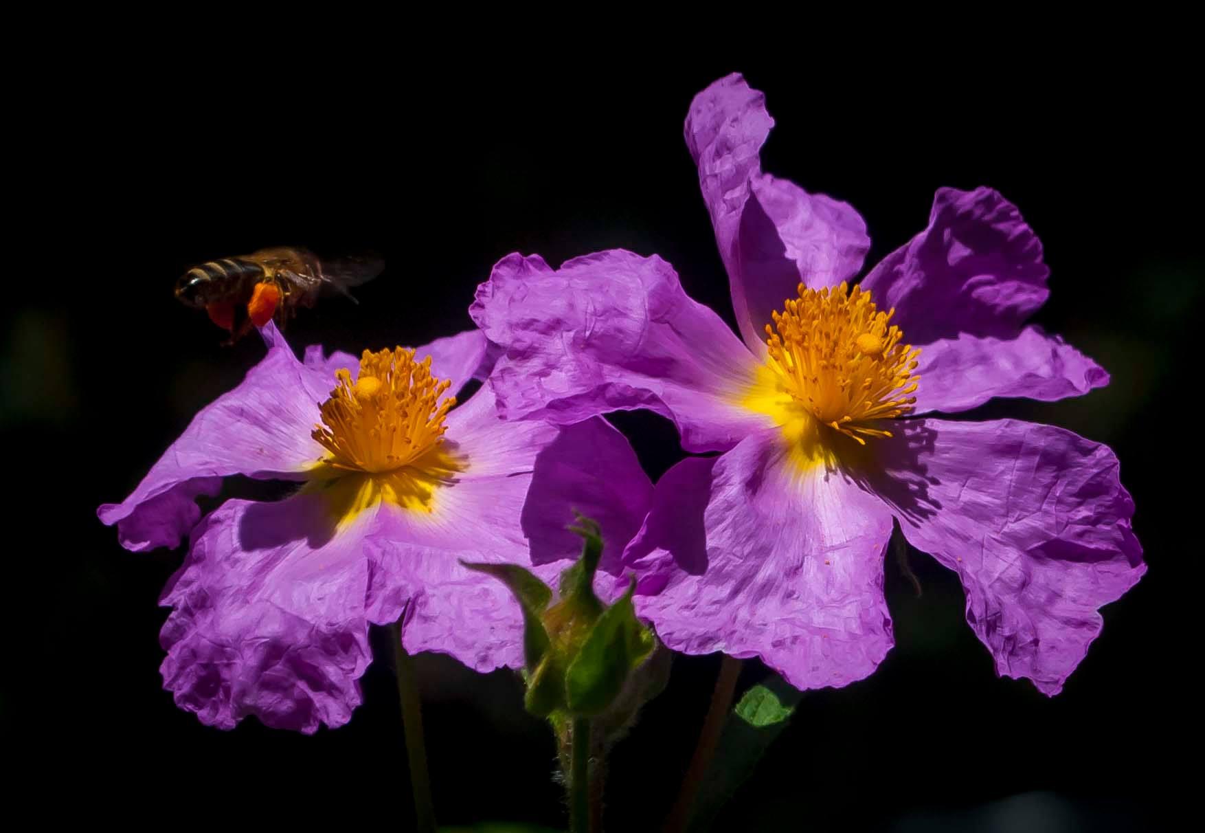 Ciste-abeille-corse