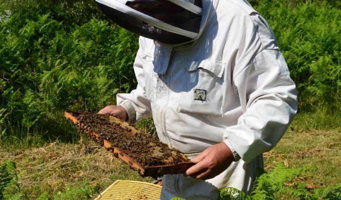 J. Laurent, apiculteur en Corse
